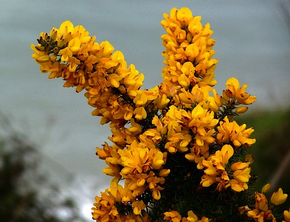 Gorse Landscapes Nature Yellow Creamy Furze Bee Ye