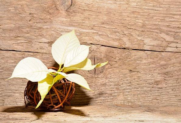 Poinsettia Landscapes Floret Nature Plant Vegetabl