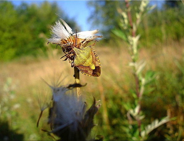 Bug Germ Landscapes Nature Meadow Field Thistle Su