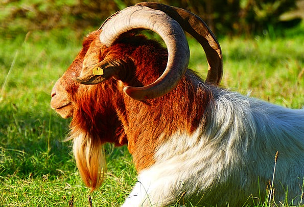 Goat Animal Physical Billy Goat Goat Buck Horns Si