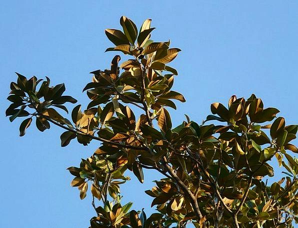 Tree Sapling Greeneries Magnolia Leaves Magnolia L