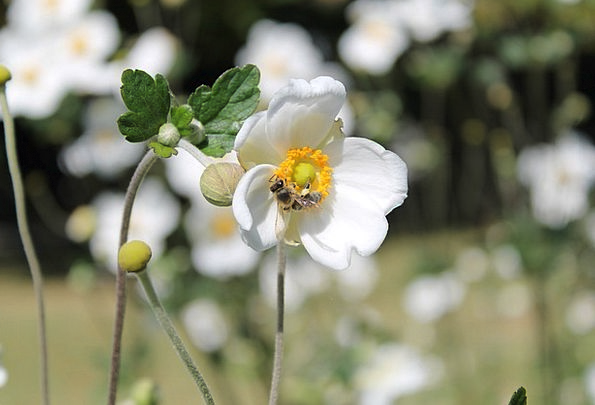 Bee Landscapes Floret Nature White Snowy Flower Na