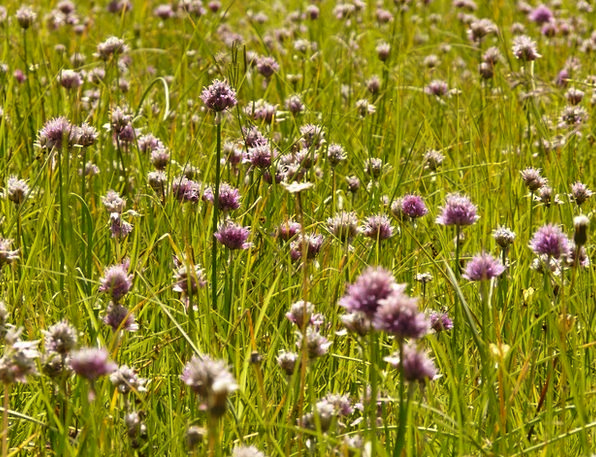 Chives Landscapes Vegetable Nature Flower Floret P