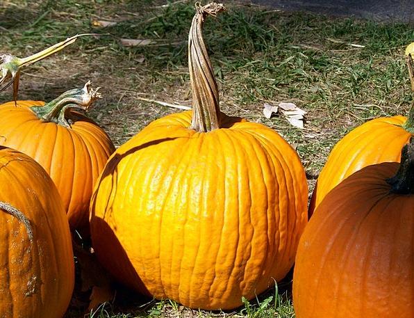 Pumpkin Warped Stem Stalk Twisted Autumn Fall Hall