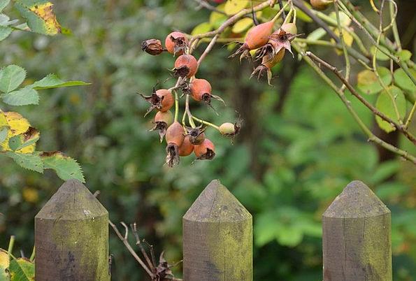 Rose Hip Drink Food Autumn Fall Wild Rose Fruit Ov