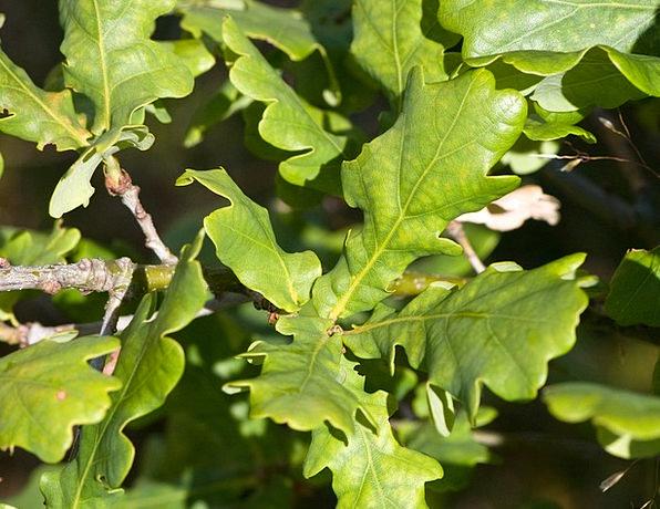 Oak Leaves Landscapes Greeneries Nature Oak Leaf L