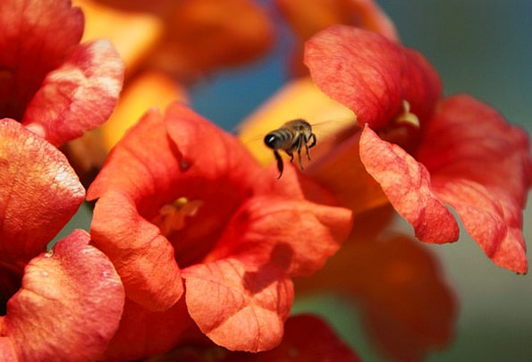 Animal Physical Blooming Flourishing Bee Honey Blo