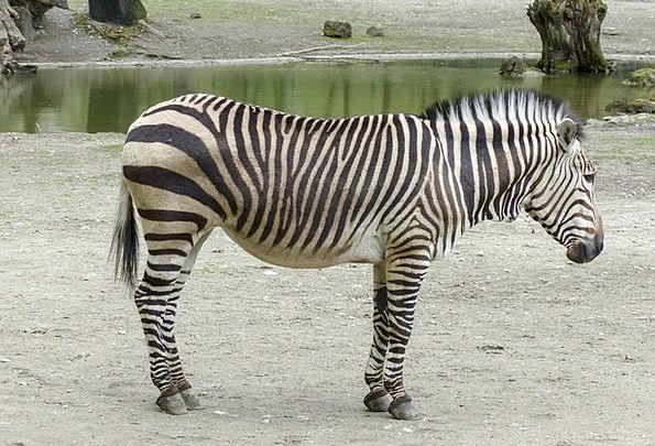 Hartmann Mountain Zebra Southwest Africa Zebra Mam