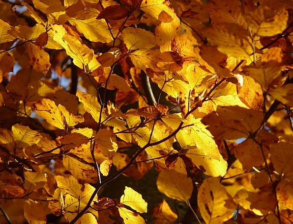 Beech Landscapes Nature Fagus Fagus Sylvatica Gold