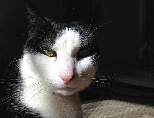 Cat Cat Face Sunlight Sunshine Cute Cat Kitty Pet