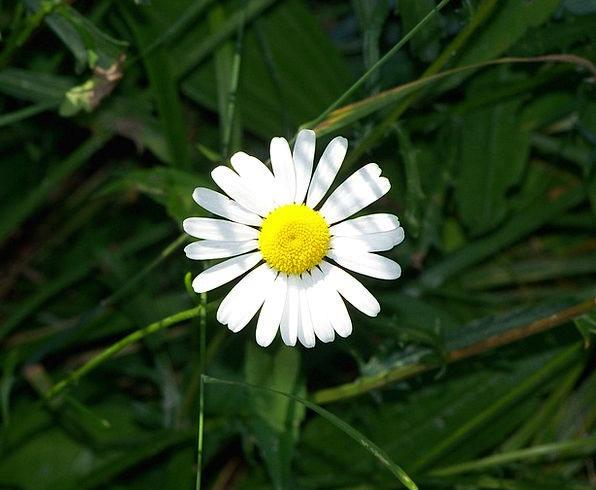 Daisy Landscapes Floret Nature White Snowy Flower