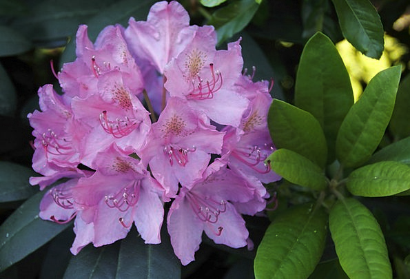 Rhododendron Flower Landscapes Elaborate Nature Te