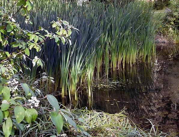 Reed Cane Landscapes Marsh Nature Vegetation Flora