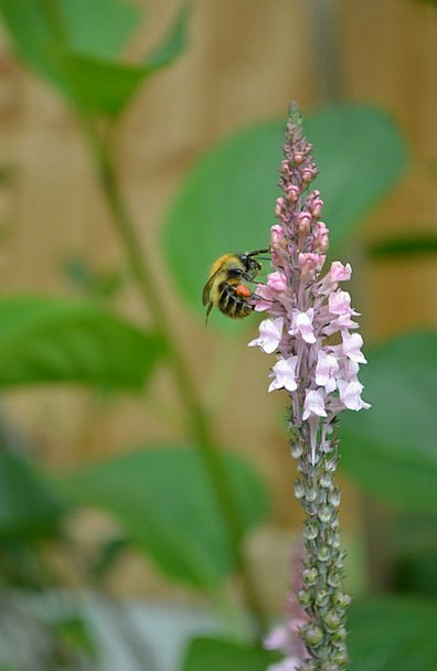 Bumblebee Pale-Pink Loosestrife Drinking Nectar Co