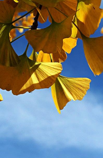 Ginko Ornamental Tree Ginko Tree Garden Plot Autum