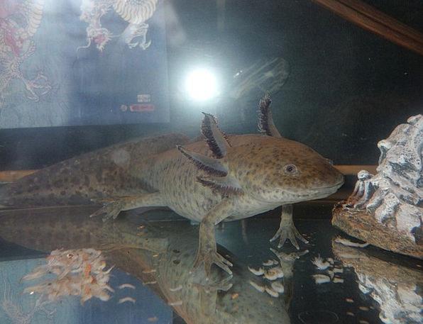 Axolotl Exotic Pets Salamander Aquatic Salamanders