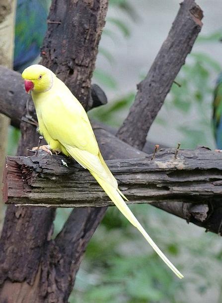 Parakeet Creamy Birds Natures Yellow