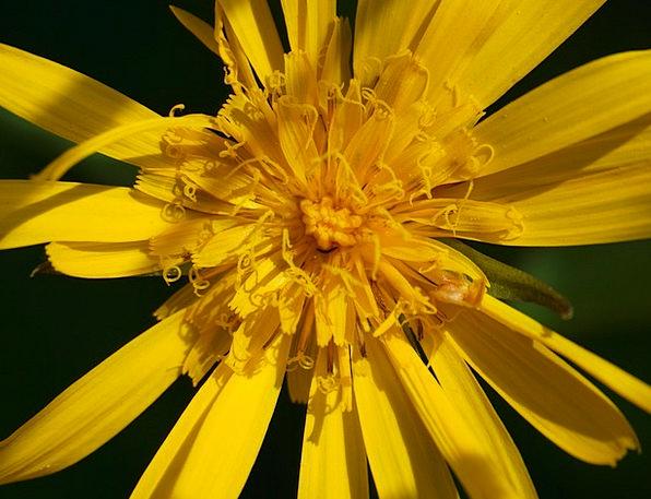 Alpine Flower Landscapes Floret Nature Yellow Crea