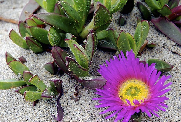 Succulent Juicy Landscapes Vegetable Nature Beach