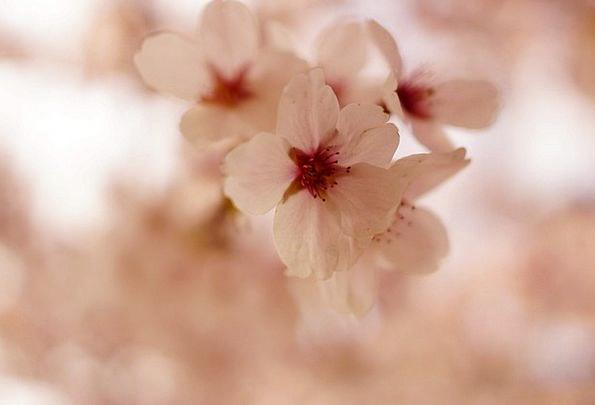 Cherry Blossom Landscapes Plants Nature Spring Coi
