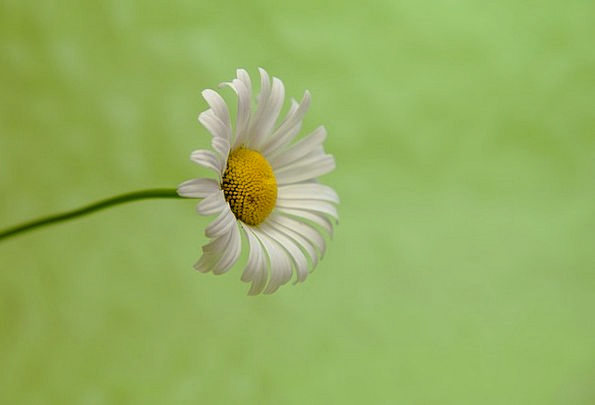 Marguerite Textures Lime Backgrounds Background Co