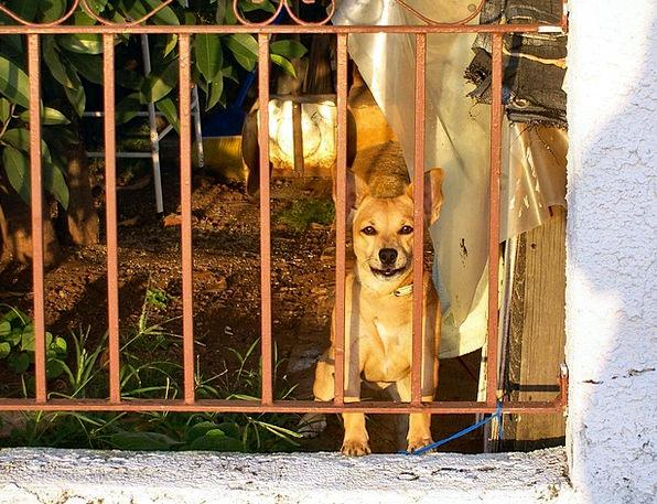 Dog Canine Domesticated Brown Chocolate Pet Wistfu