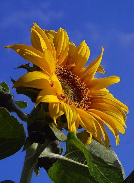 Sun Flower Landscapes Floret Nature Nature Country