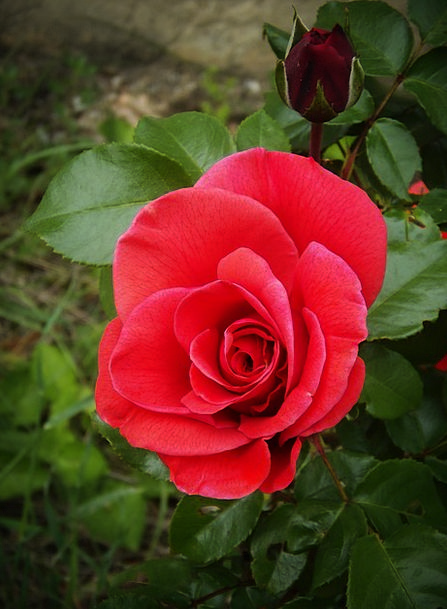 Rosa Landscapes Bloodshot Nature Petals Red Garden
