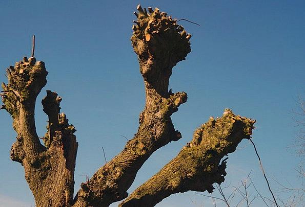 Plane Flat Sapling Aesthetic Artistic Tree Old Anc