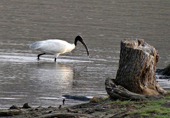 White Ibis Bird Fowl Ibis India Wader Gumboot Faun