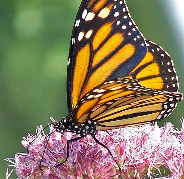 Butterfly Ruler Insect Monarch Pollinate Orange Ca