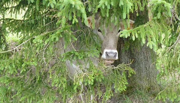 Cow Intimidate Sapling Hiding Place Hideaway Tree