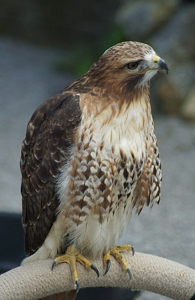 Falcon Bird Fowl Raptor Birds Plumage Down Claw Bi