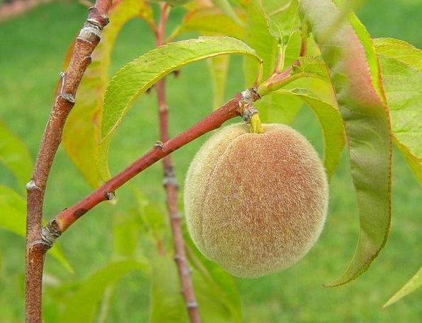 Peach Beauty Drink Ovary Food Home Grown Fruit Foo