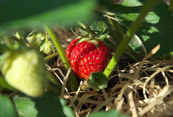 Strawberry Straw-hat Red Bloodshot Summer Fruits O