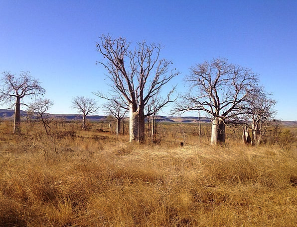 Boab Textures Plants Backgrounds Outback Trees Env