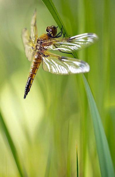 Libellula Quadrimaculata Four Patch Dragonfly Fema