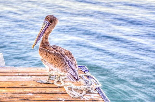 Pelican Fowl Wildlife Bird Nature Countryside Flor