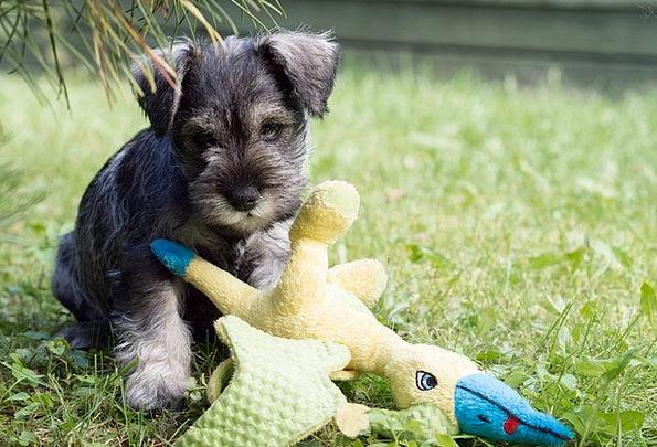 Puppy Brat Canine Pet Domesticated Dog Animals Fau