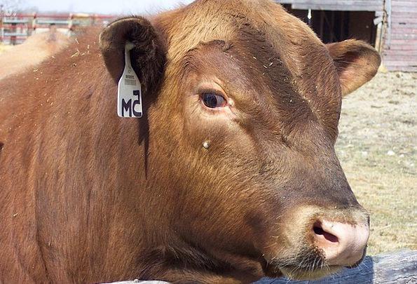 Red Bloodshot Bull Decree Angus Beef Complaint Mea