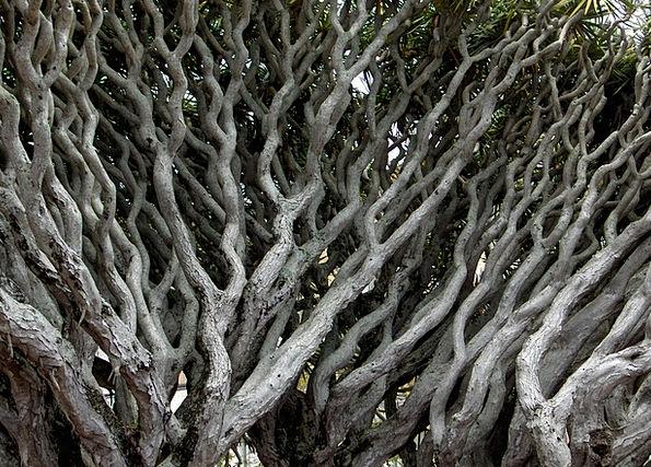 Dracaena Draco Sapling Ramos Tree Gray Leaden