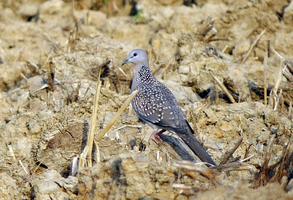 Spotted Dove Bird Fowl Streptopelia Chinensis Outd