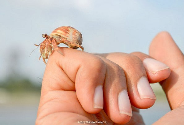 Hermit Crab Little Slight Crab Cute Attractive Ani