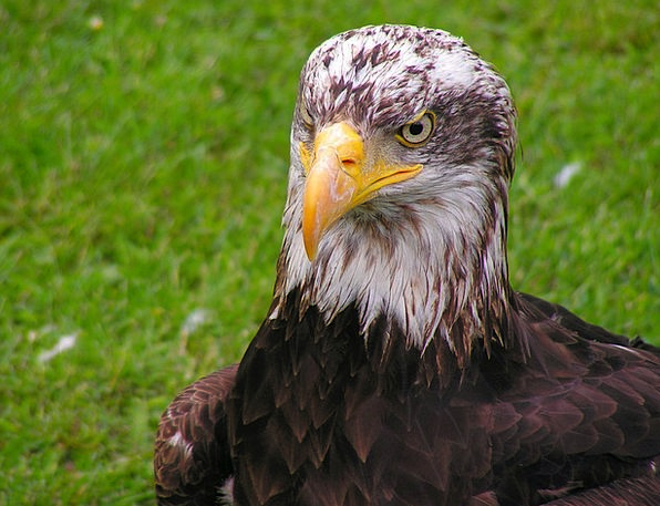 Bald Eagle Skull Cub Novice Head Eagle Portrait Gr