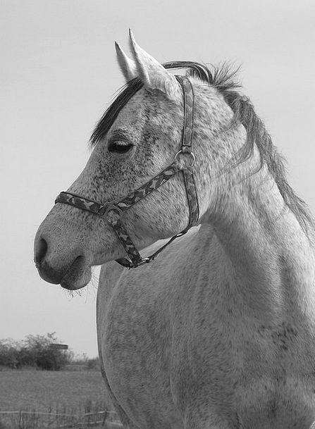 Horse Mount Representation Black And White Portrai