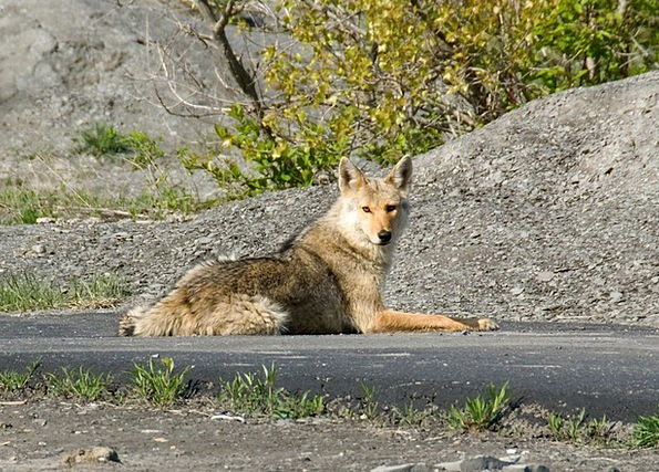 Coyote Animal Physical Quadruped Usa Street Lying