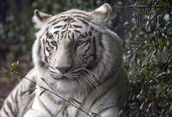 Tiger Cat Feline White Tiger Head Fur Hair Zoo Wil