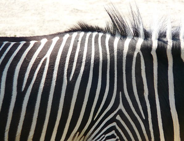 Plains Zebra Perissodactyla Zebra Pattern Animal P