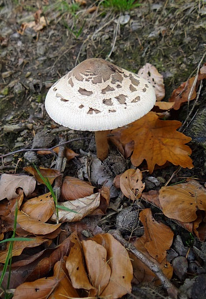 Mushroom Burgeon Landscapes Fall Nature Forest Woo