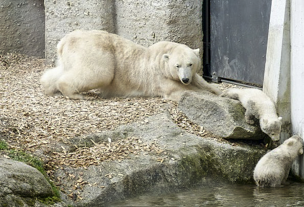 Polar Bear Feminine Cubs Novices Female Endangered